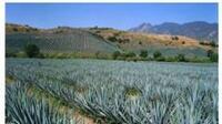 Bajó la producción de tequila